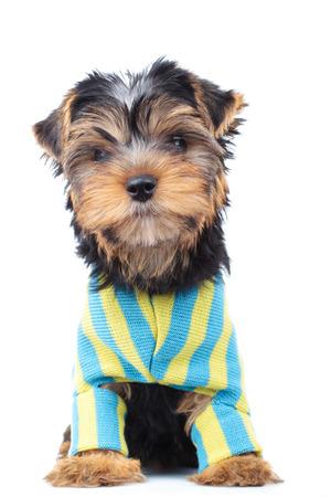 perros vestidos: dressed little puppy sitting on white background