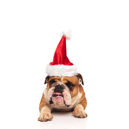 grumpy english bulldog santa sticking out his tongue at the camera on white background