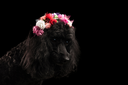 cute poodle wearing flowers crown looks down on black background Stock Photo