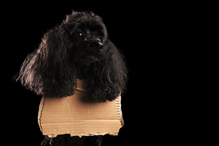 sad poodle wearing a blank sign at its neck is waiting on black studio background Stock Photo