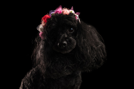 adorable black poodle wearing coloured flowers crown in studio Stock Photo