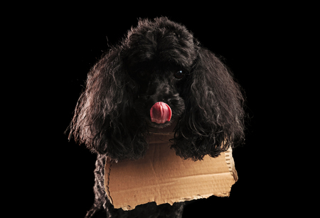 eager and hungry homeless poodle dog licks its mouth and wears a blank carton message at its neck