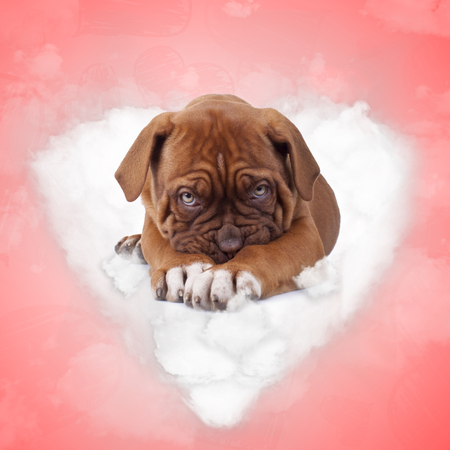 shy french mastiff puppy dog lying on a love cloud on red valentine's day background 스톡 콘텐츠