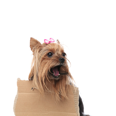 homeless yorkshire terrier screaming for help while wearing a sign at its neck on white background