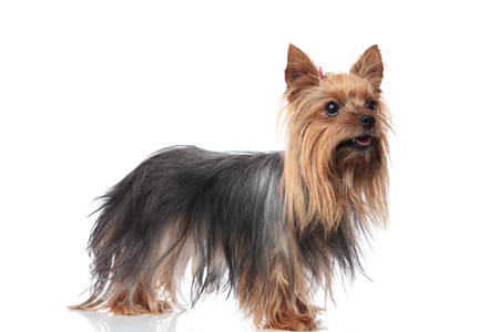 happy yorkshire terrier female standing with mouth open on white background and looks to side Stock Photo - 93930210