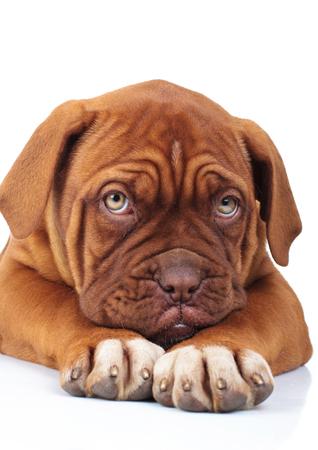 sad little french mastiff puppy is being affraid of something while lying on white background 스톡 콘텐츠