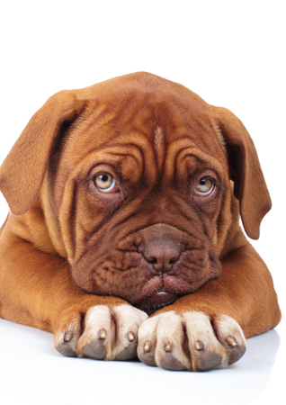 sad little french mastiff puppy is being affraid of something while lying on white background Stock Photo