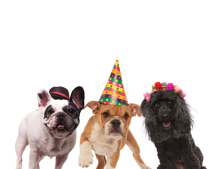 three adorable dogs wearing caps and headband on white background 版權商用圖片