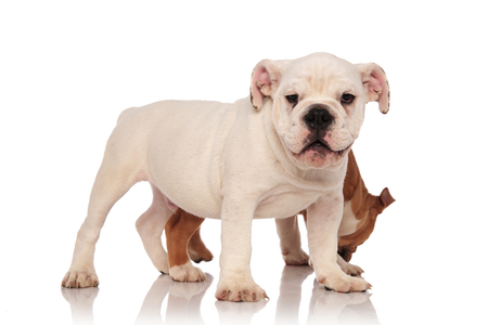 happy white english bulldog standing in fron of its brother while it smells something on white background Stock Photo