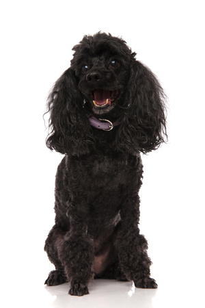 happy black poodle is panting with mouth open on white background