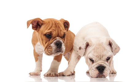 white english bulldog puppy picks up a scent while sniffing on white background near its brother