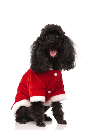 joyful little poodle puppy wearing red santa costume sitting on white background