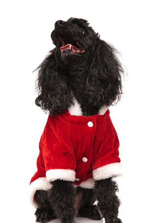 santa claus poodle looks up with mouth open on  white background