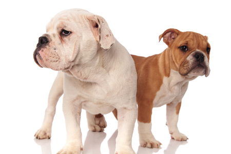 two cute english bulldog puppies standing and look to side away from the camera on white background