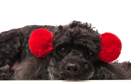 sad little poodle wearing red earsmuffs lying down on white background