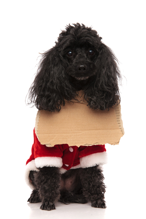 cute little poodle beggar wearing a sign and wishing to be adopted, sitting on white background