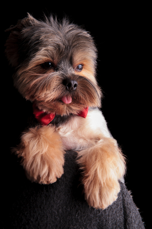 Top Terrier Bow Adorable Dog - 95817392-cute-elegant-yorkshire-terrier-wearing-red-bowtie-looks-to-side-way-from-the-camera-on-black-backgro  Picture_19646  .jpg?ver\u003d6