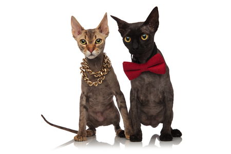 two adorable short haired cats wearing necklace and bowtie sitting together on white background