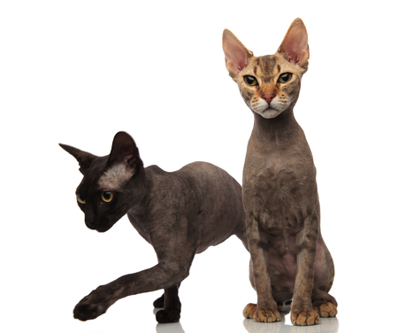 brwon cat is sitting while the black one is walking on white background
