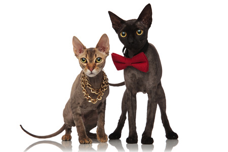 adorable cats on white background, one is standing and wearing red bowtie, and one is sitting and wearing gold necklace