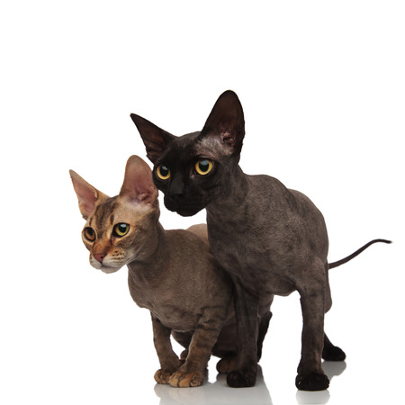 two cute cats standing together and look to side on white background Stock Photo