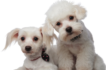 close up of two adorable white bichons on a white background