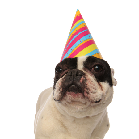 close up of a birthday french bulldog looking up while standing on a white background Stock Photo