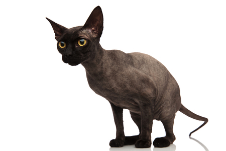 side view of an adorable grey cat standing on white background and looking away
