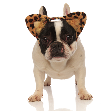 adorable french bulldog wearing leopard ears headband standing on a white background