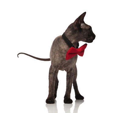 grey cat wearing red bow tie looks to side on white background while standing Stock Photo