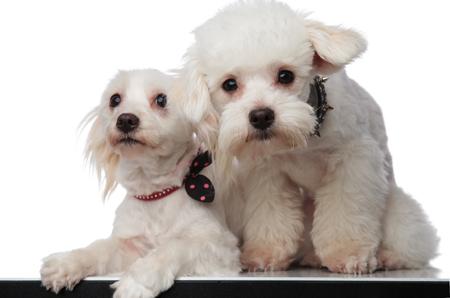 lovely white bichon couple sitting with paws hanging on a white background Stock Photo