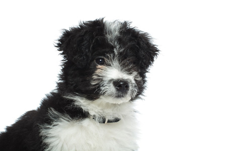 closeup of a curious bichon havanese looking focused and alert, o a white background