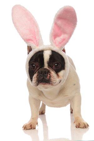 cute french bulldog wearing pink easter bunny ears standing on a white background
