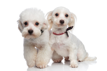 adorable white bichon couple wearing collars standing on a white background