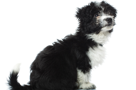 side view of a curious bichon havanese looking to side, sitting o a white background Zdjęcie Seryjne