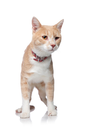adorable distracted orange cat wearing a red collar while standing on a white background
