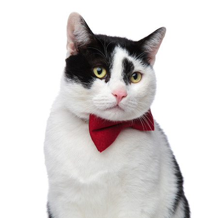 close up of cat with red bow tie looking to side ona white background Stock Photo