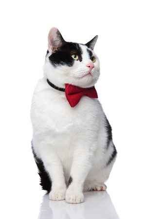adorable sitting black and white cat looking to side on a white background wearing a red bow tie