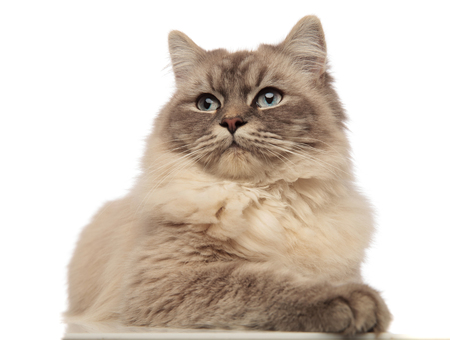curious grey cat with wide blue eyes looks to side while lying on white background
