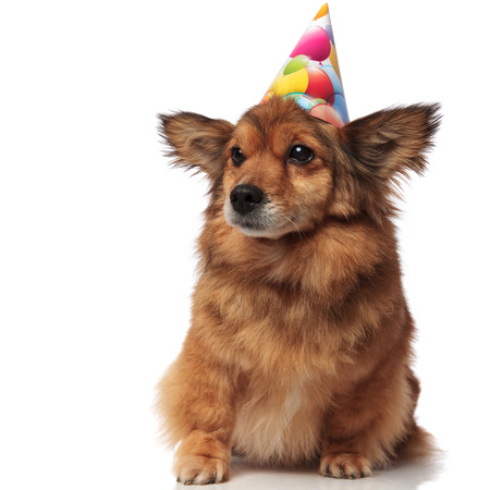 curious brown seated dog with birthday hat looks to side on white background