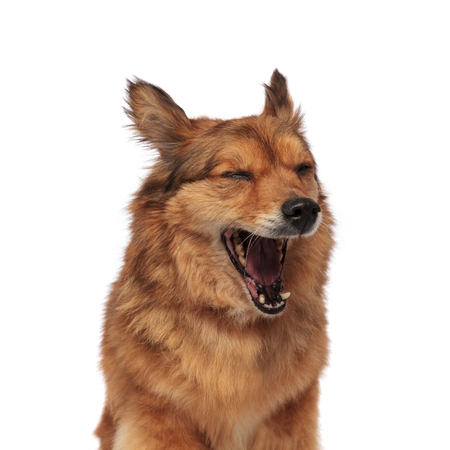 close up of tired brown metis dog yawning with mouth wide open and closed eyes, on white background