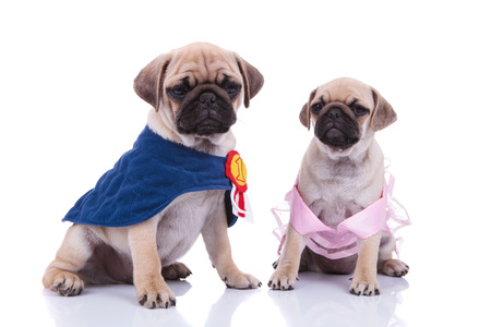 adorable pug couple sitting on white background, dressed for halloween in pink dress and blue cape