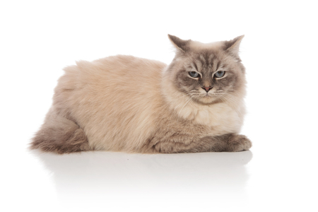 side view of adorable grey cat with blue eyes lying down on white background Stock Photo