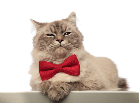 adorable grey cat looking stylish wearing a red bowtie while lying on white background Stockfoto