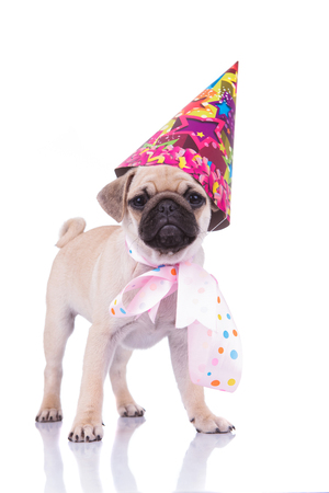 excited pug with birthday hat and colorful ribbon around neck standing on white background waiting for its cake