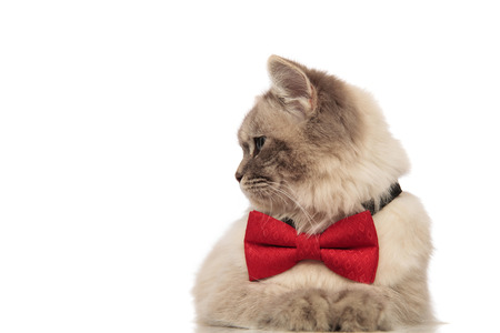 curious grey cat lying on white background with red bowtie turns head to side