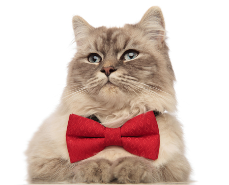 close up of grey cat with blue eyes wearing a red bowtie and looking to side, lying on white background Stockfoto