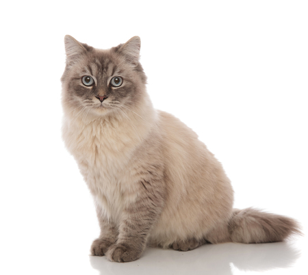 adorable grey cat with blue eyes sitting on a white background