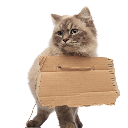 beggar cat with grey fur and blue eyes walking and looking to side with empty cardboard, on white background Stock Photo
