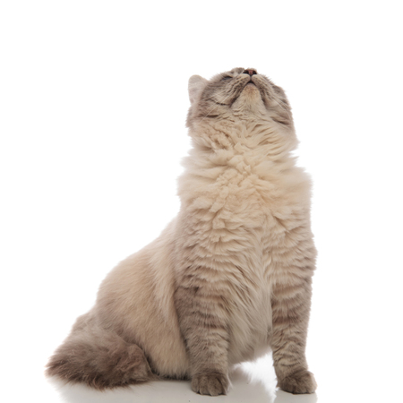 seated cat with grey soft fur looks up on white background